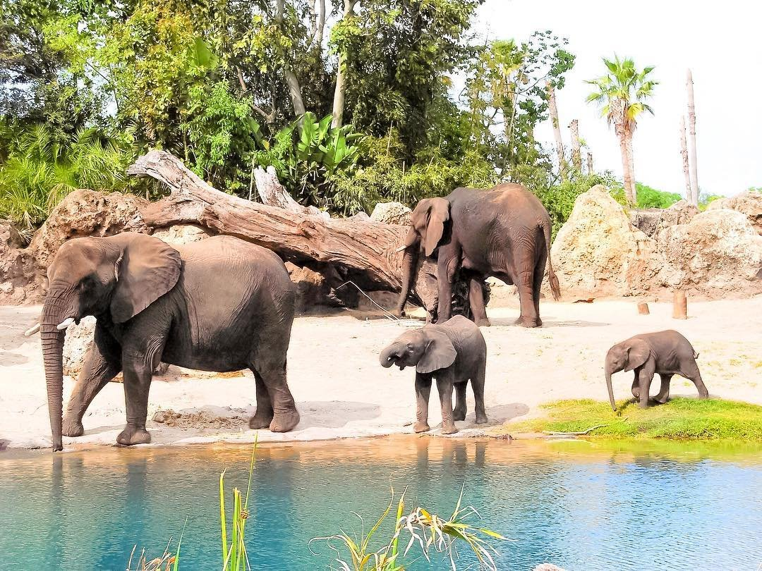 Elephants at Disney's Animal Kingdom Theme Park