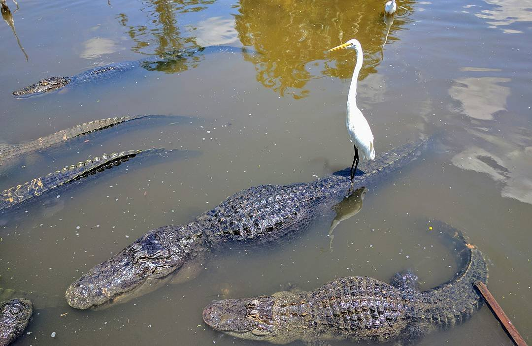 Egret riding an alligator in Kissimmee, Florida