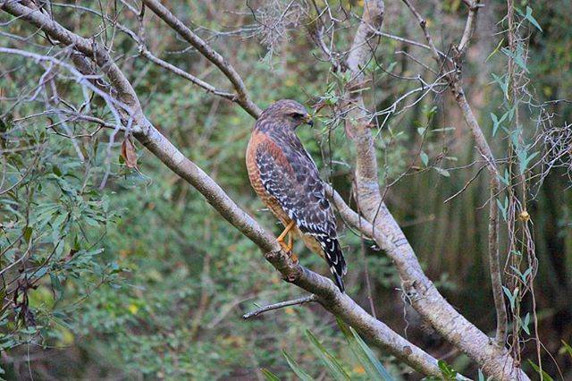 Close-up of a Red-shouldered Hawk in Forever Florida