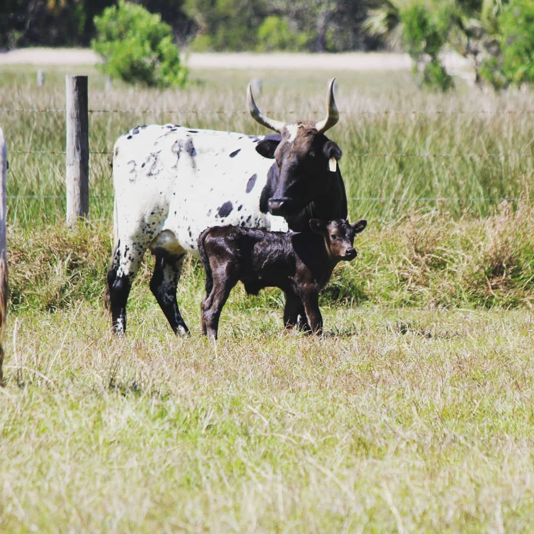 A cracker cow and her calf in Forever Florida
