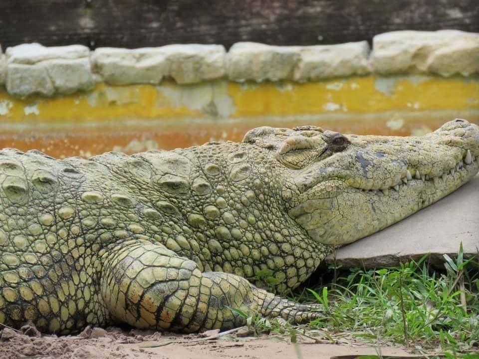 Alligator resting in Gatorland, Florida