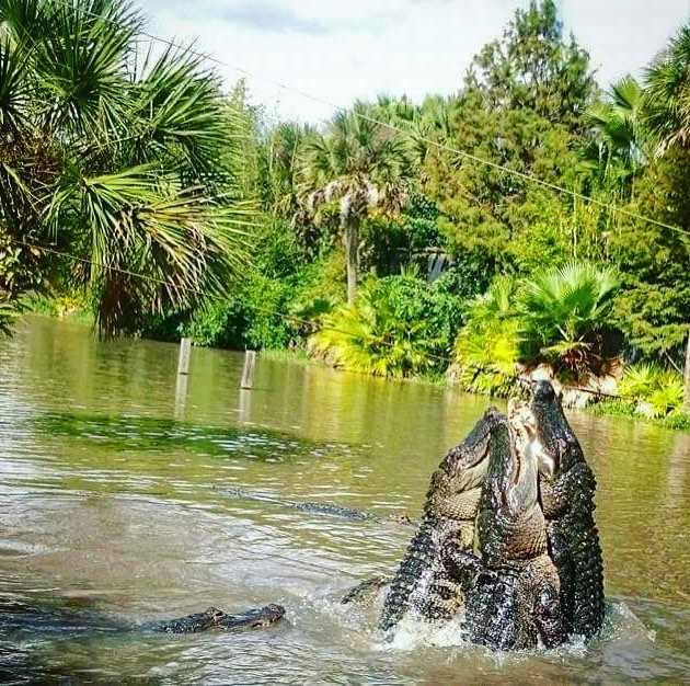Four gators jumping from the water in Wild Florida