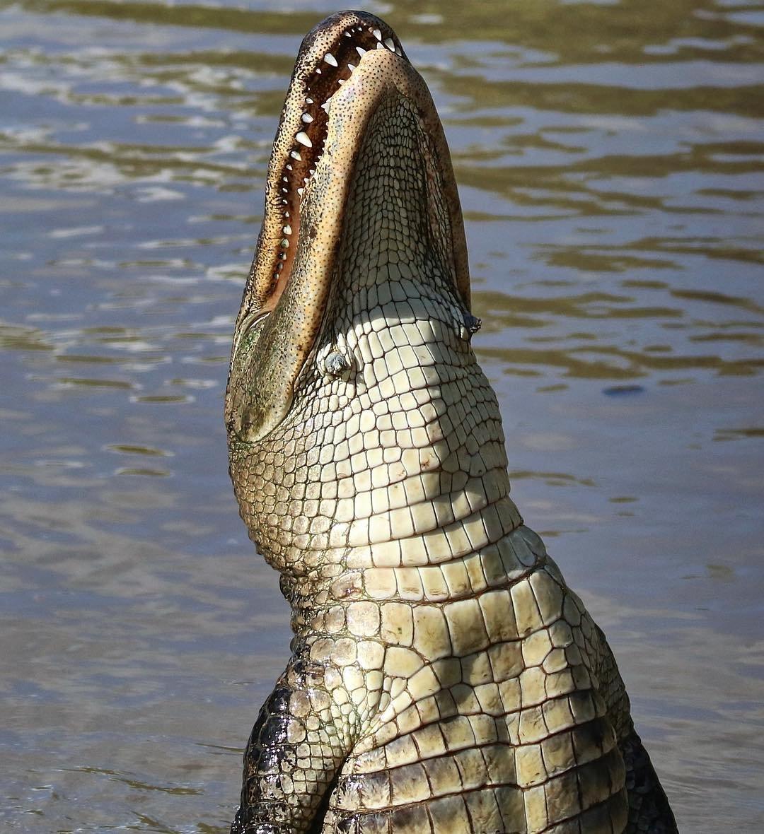 Jumping Aligator in Wild Florida