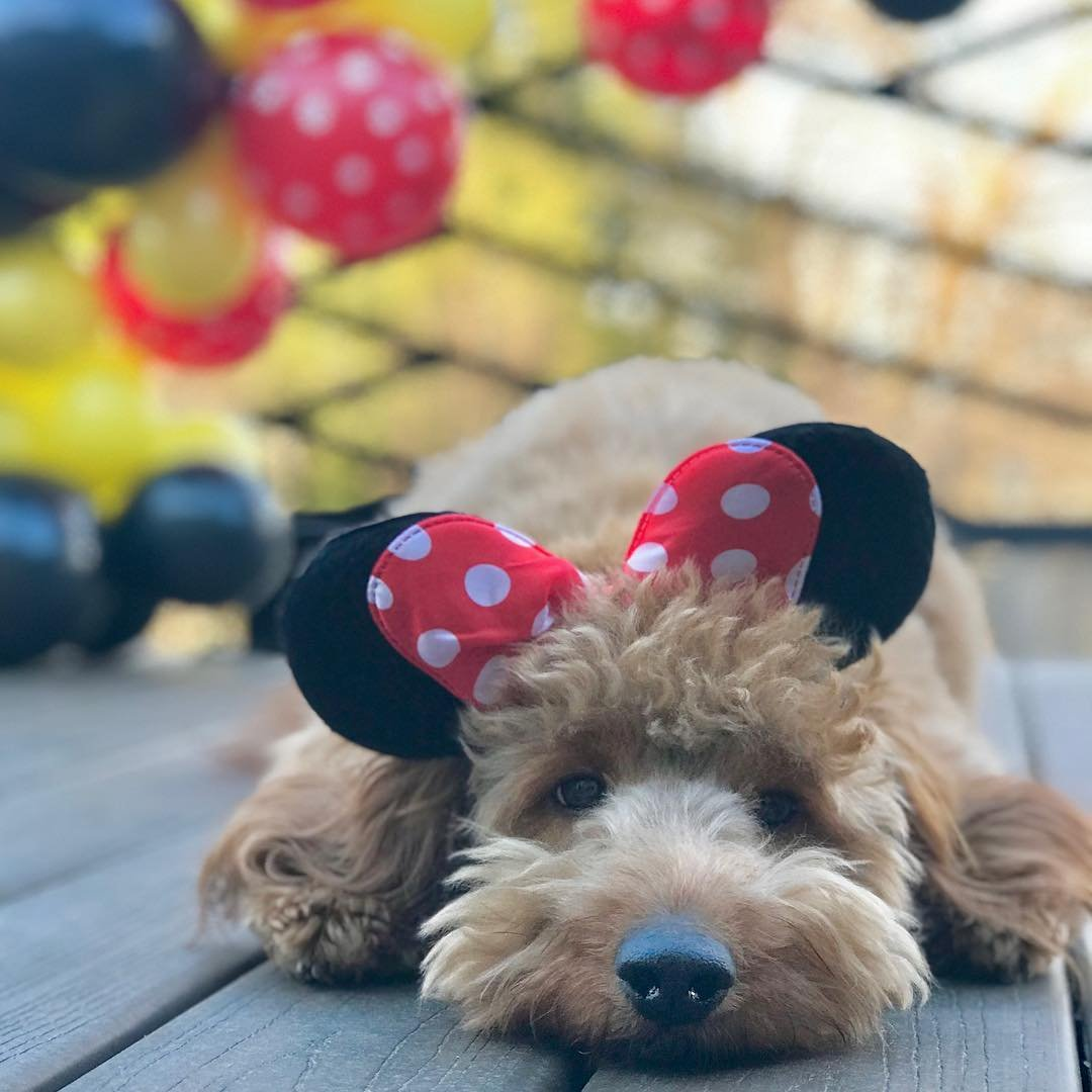 A dog wearing Minnie Mouse ears.