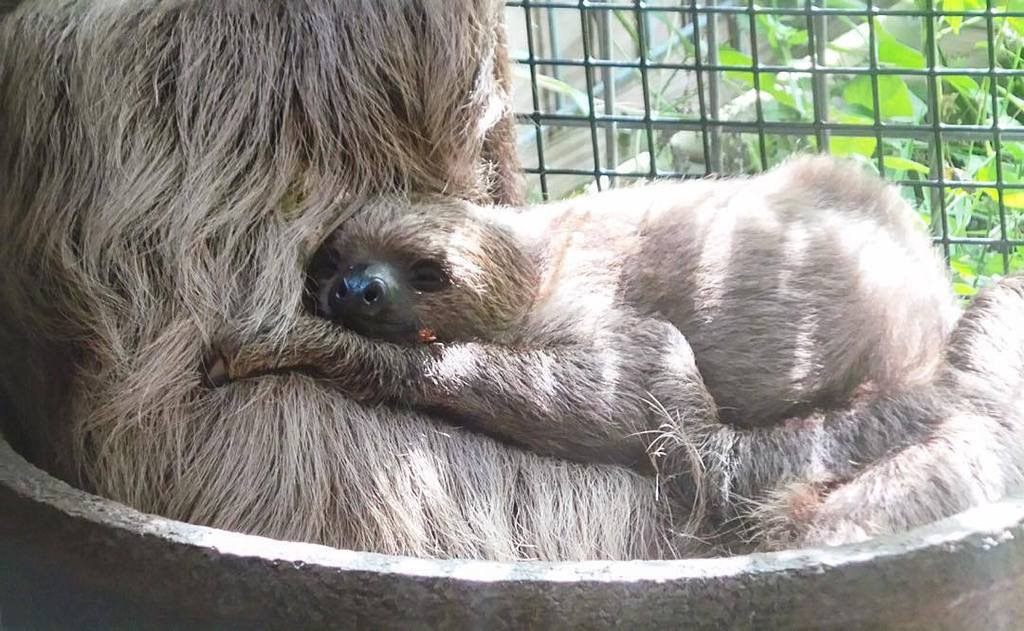 An adorable baby sloth taking a nap. Just another day!