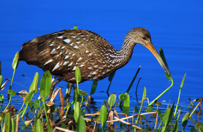 Limpkin on Lake Toho
