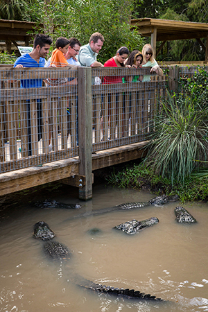 Viewing Alligators at Wild Florida