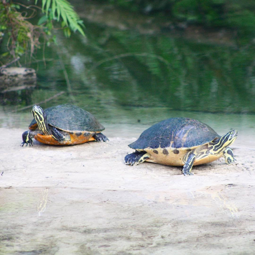 Two turtles resting in Gatorland