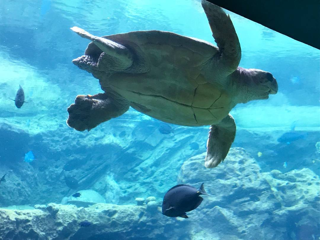 A sea turtle swims by the photographer at Seaworld Orlando