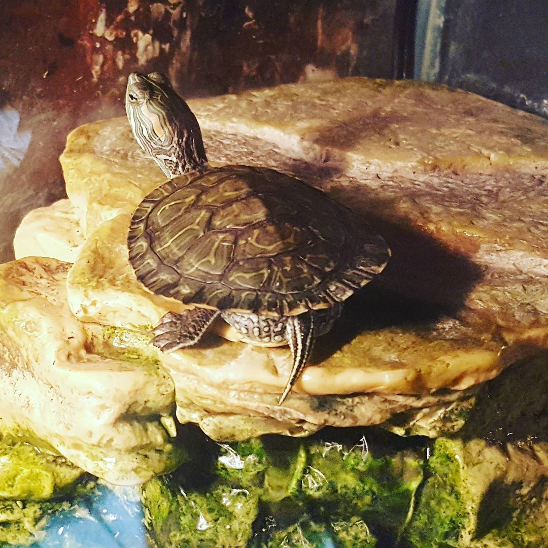 A turtle reaches it's neck out on a rock fixture at the Atrium Pools