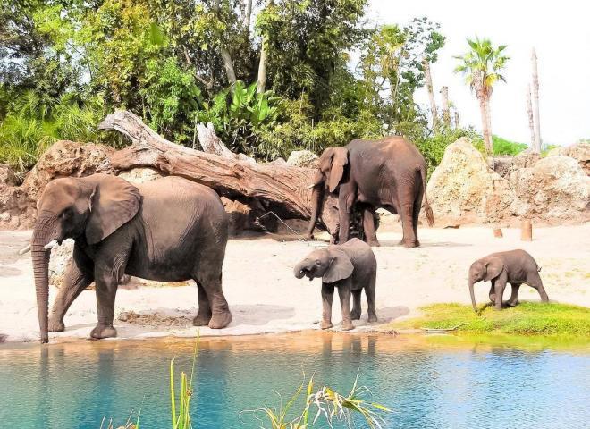 Elephants at Disney's Animal Kingdom Theme Park in Kissimmee