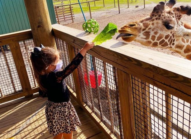 A child feeds a giraffe some lettuce
