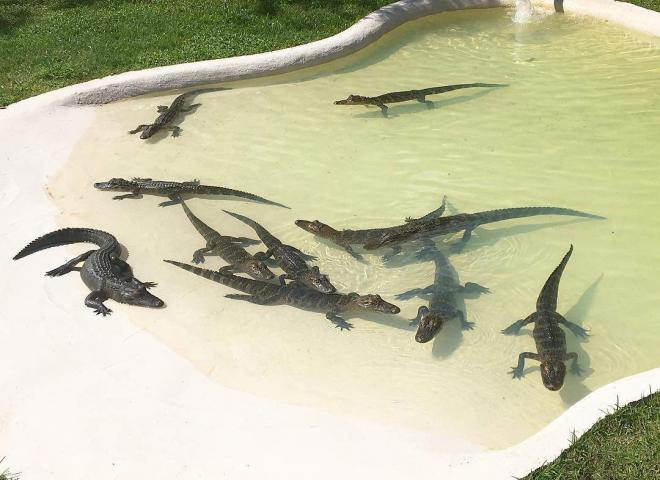 Juvenile alligators at Boggy Creek