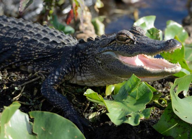 An alligator smiles in Kissimmee