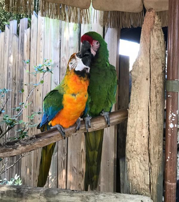 Macaws feeding each other