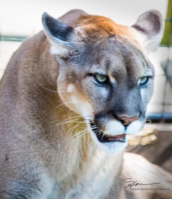 Nala the Florida Panther close up in Kissimmee