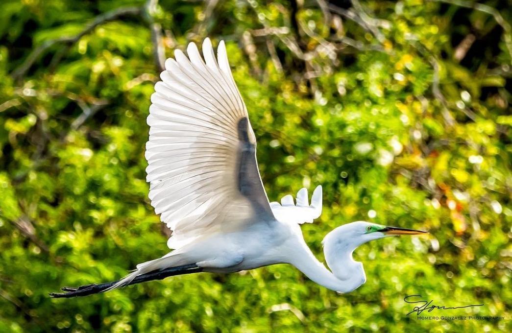 An Egret in flight