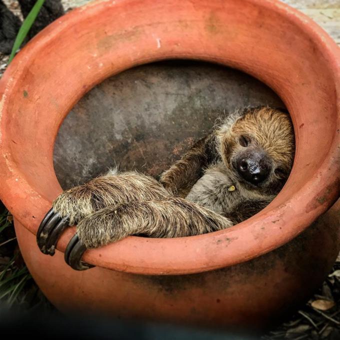 A sloth takes a nap