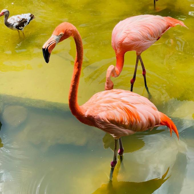 Two flamingos at Gatorland