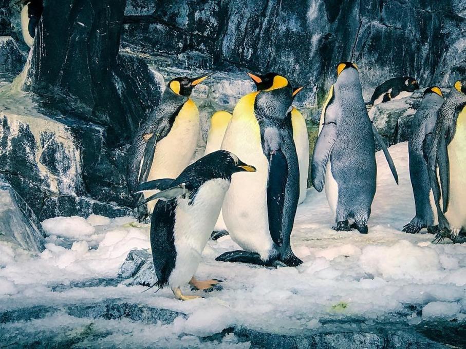 A penguin walks at SeaWorld