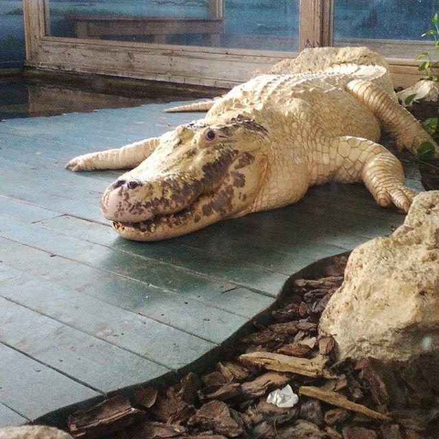 A leucistic alligator