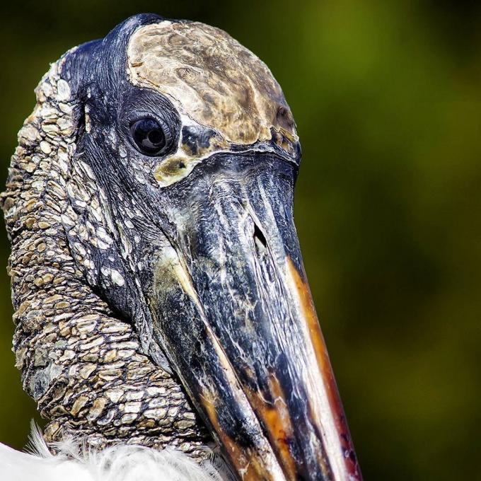 A wood stork portrait