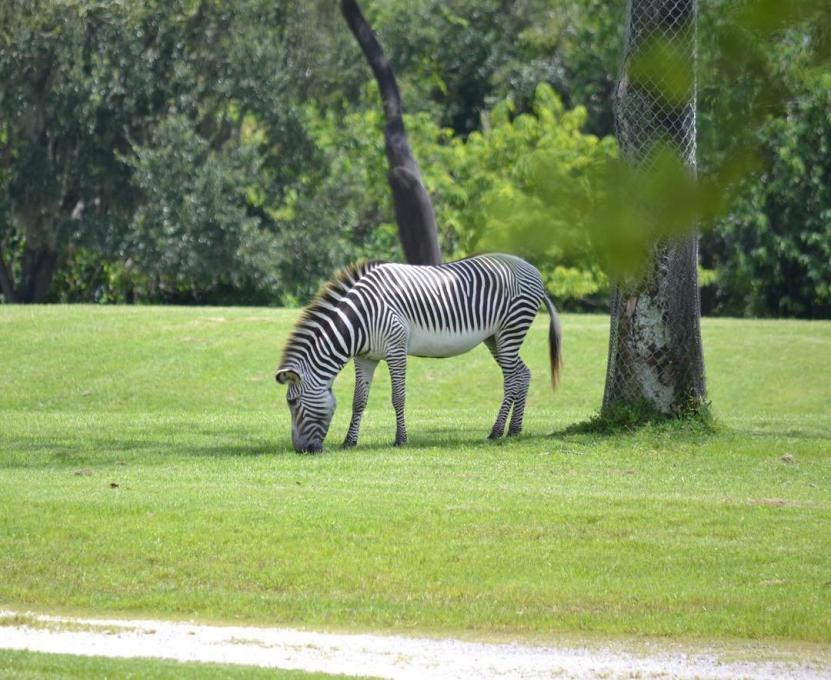 A zebra at Disney's Animal Kingdom near Kissimmee