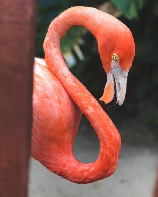 A Flamingo in Kissimmee
