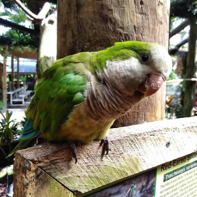 A quaker parrot at Wild Florida