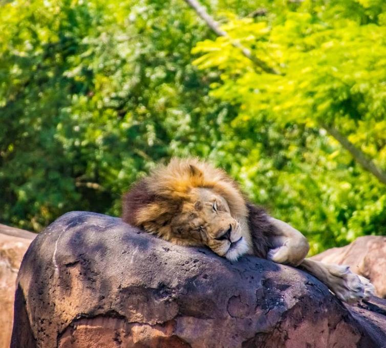 A lion asleep on a rock