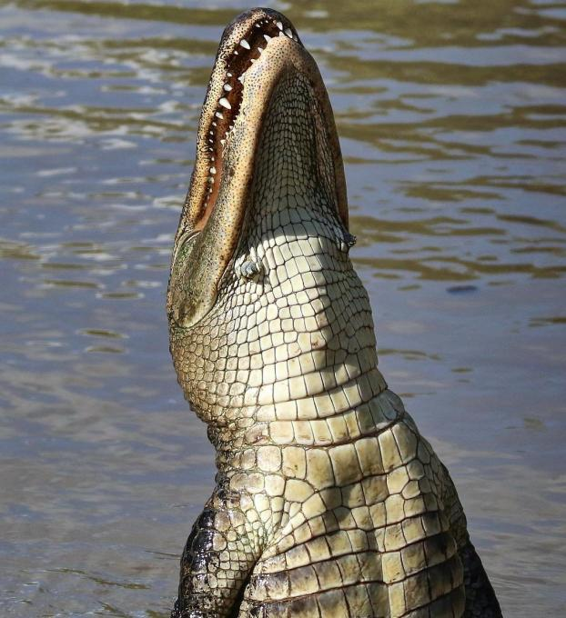 An alligator jumps for food in Kissimmee