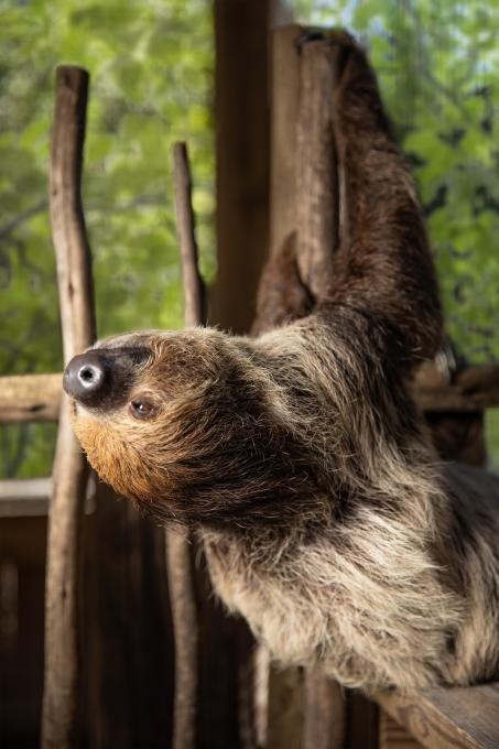 A sloth poses for the camera at Wild Florida