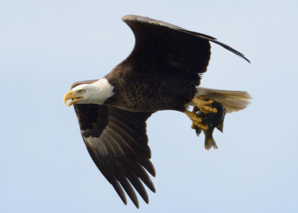 A bald eagle flies in Kissimmee