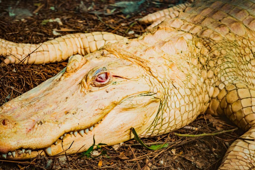 An albino alligator at Wild Florida