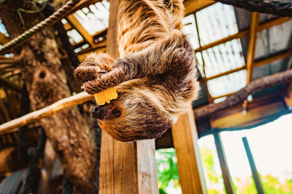 A sloth eats corn at Wild Florida