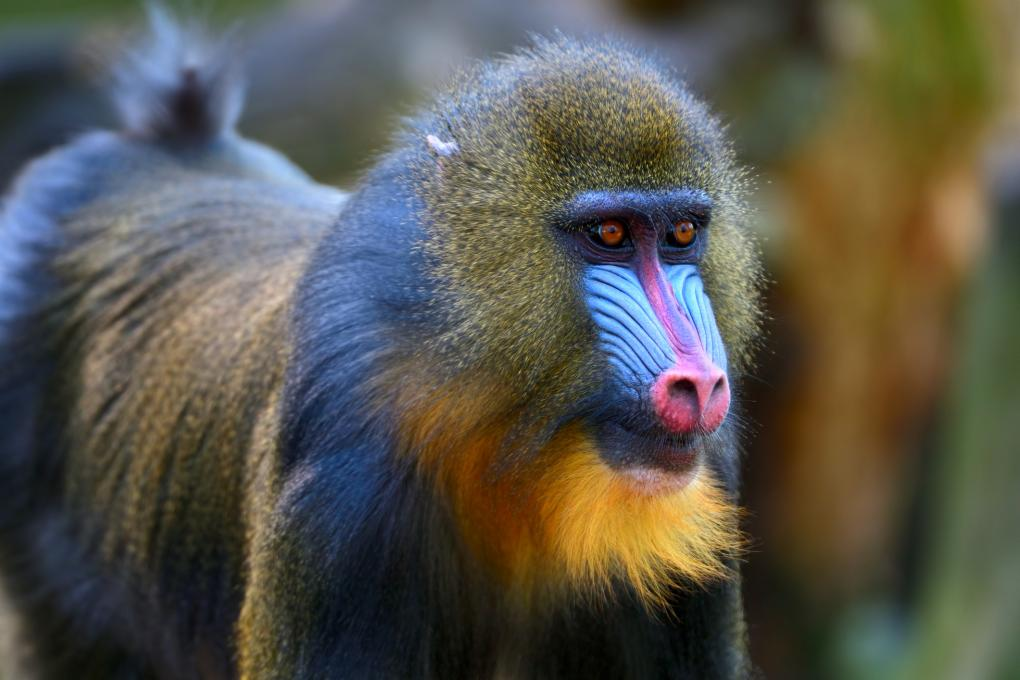 A mandrill baboon with a colorful face