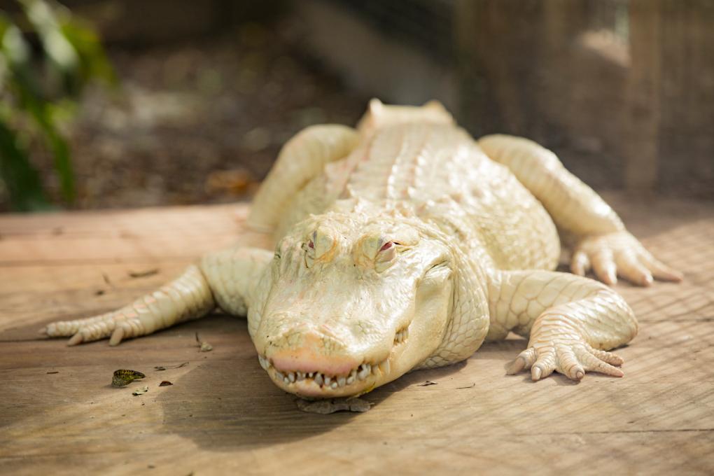 An albino alligator at Gatorland