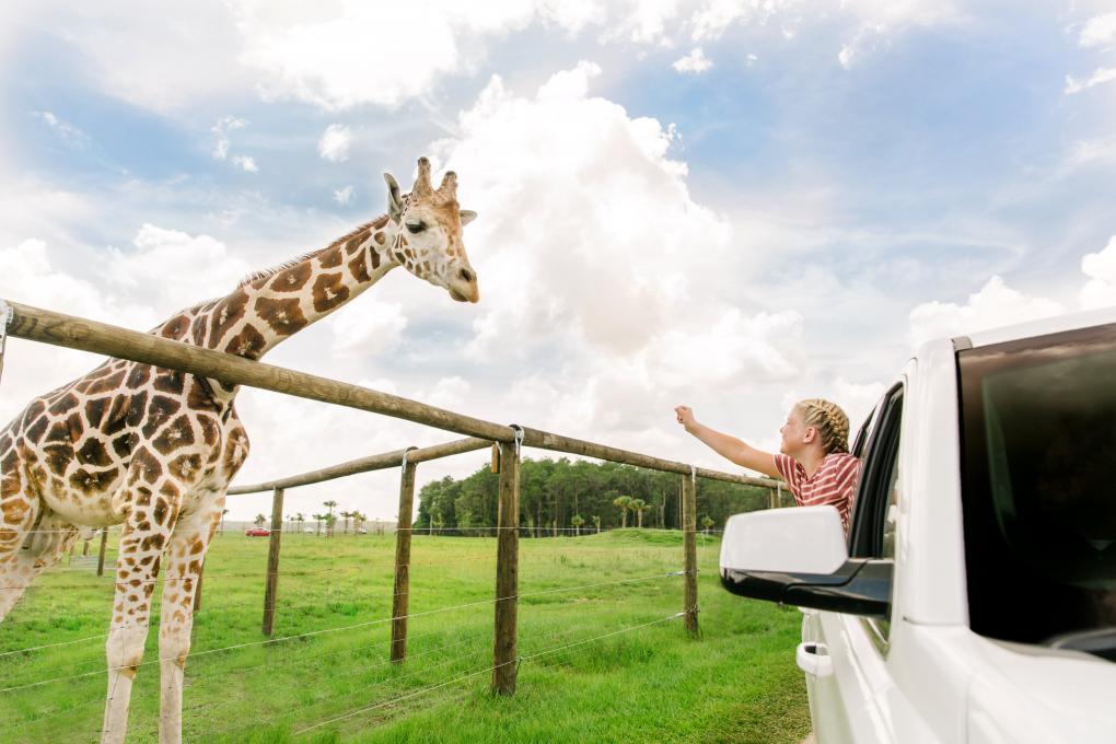 A girl raising her hand to Giraffe from the car window