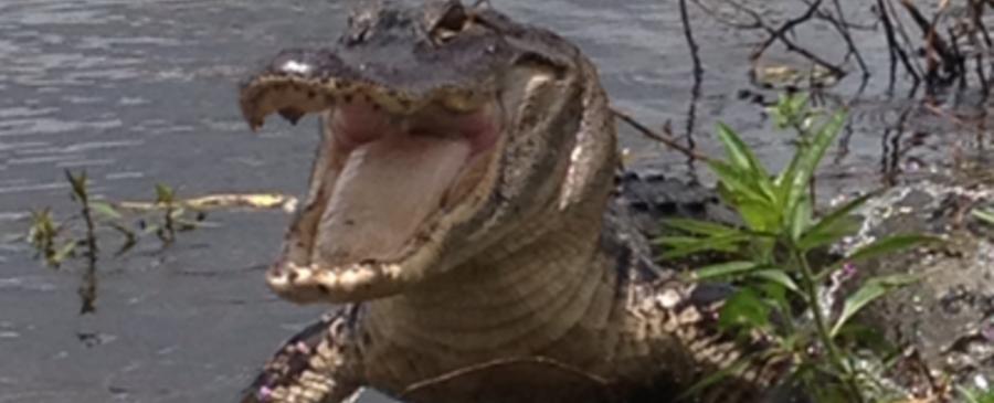 Gators Galore