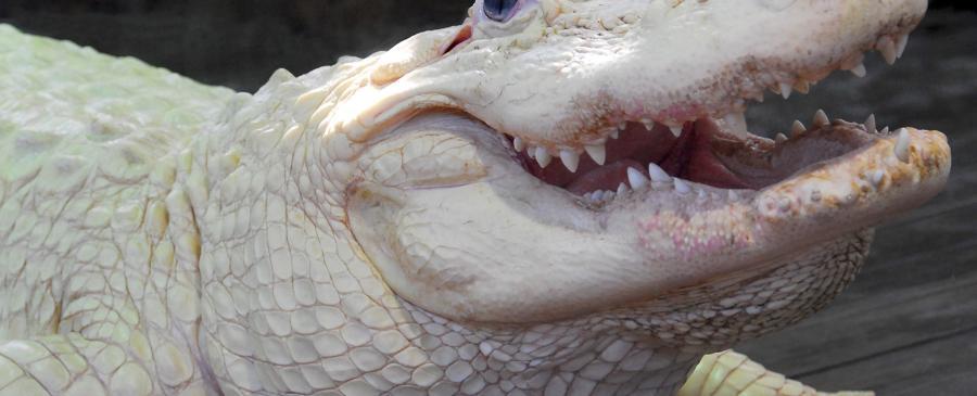 Gatorland's White Alligator Bouya Blan