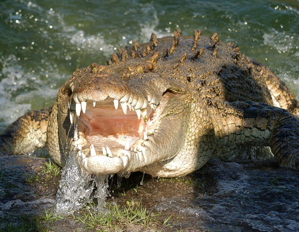 Saltwater Crocodile Lunging out of the Water