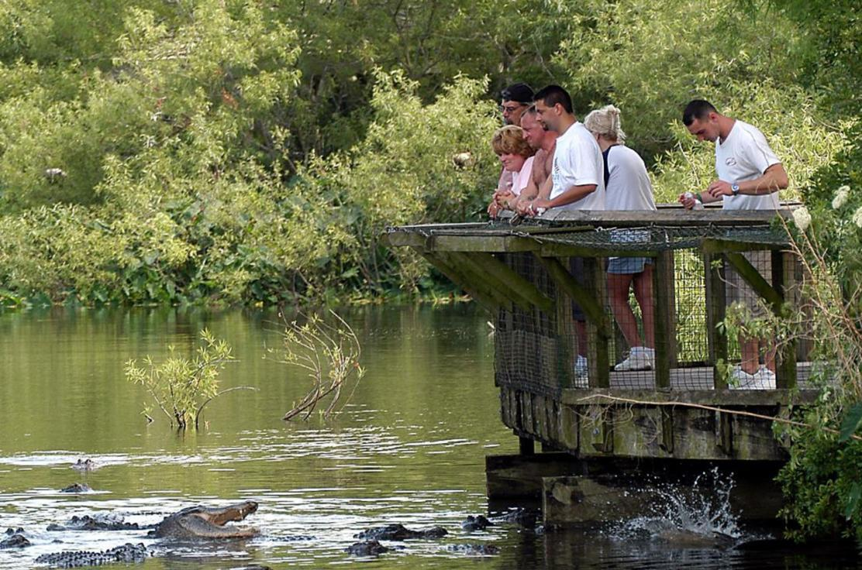 Feeding Alligators in the Breeding Marsh