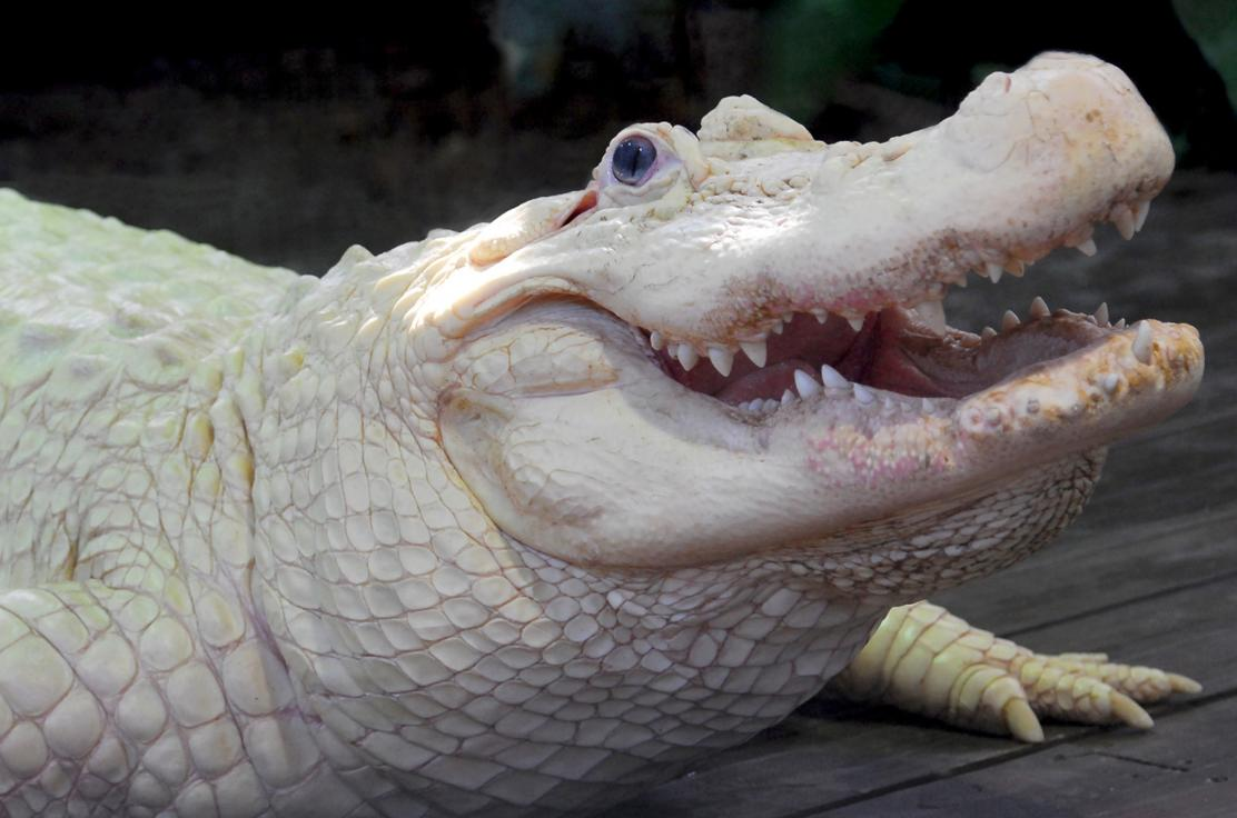 Gatorland's White Alligator Bouya Blan