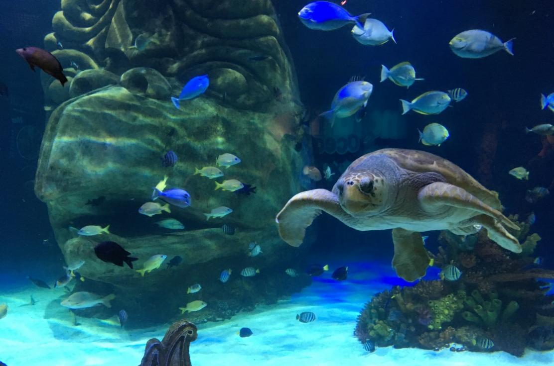 Green Sea Turtle at SEA LIFE Orlando