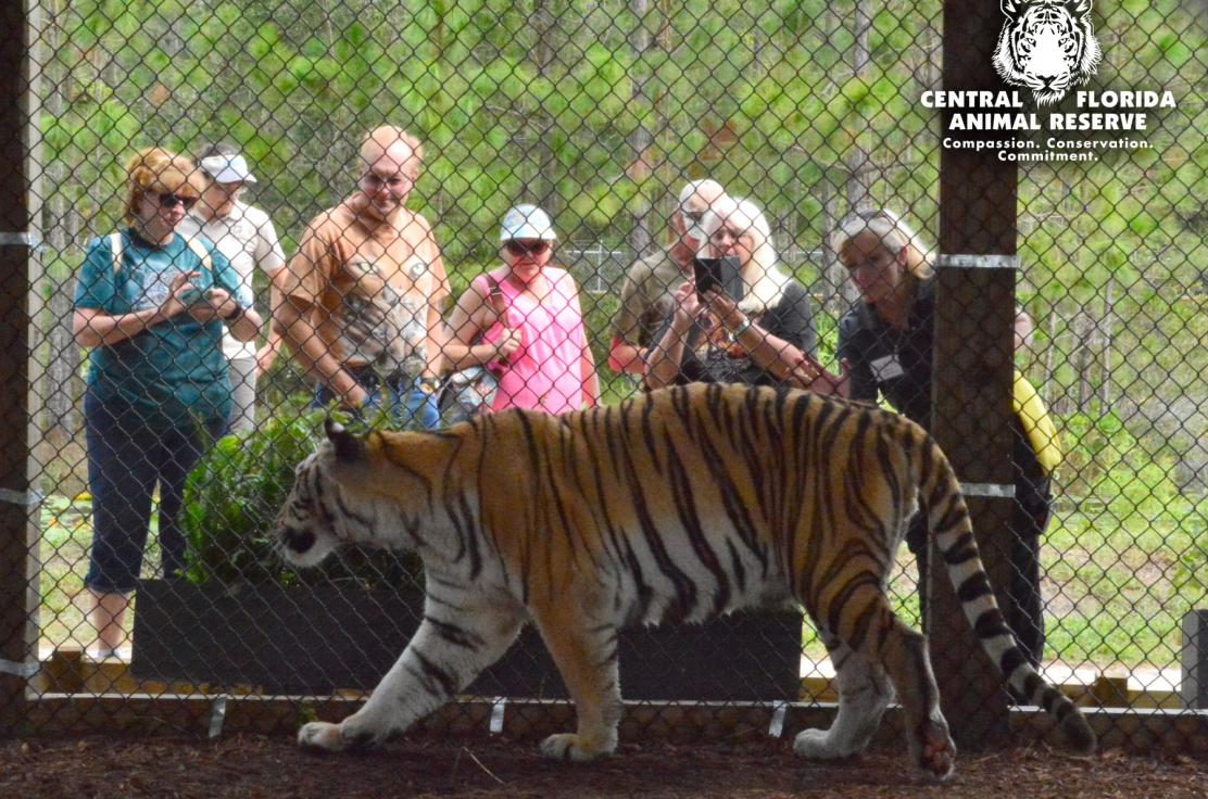 A curious tiger greets visitors for an up-close and personal experience at Central Florida Animal Reserve.