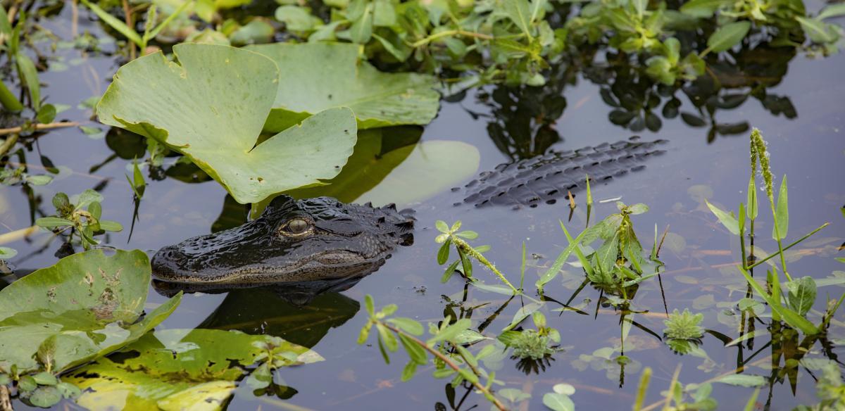 Alligator in Kissimmee, Florida