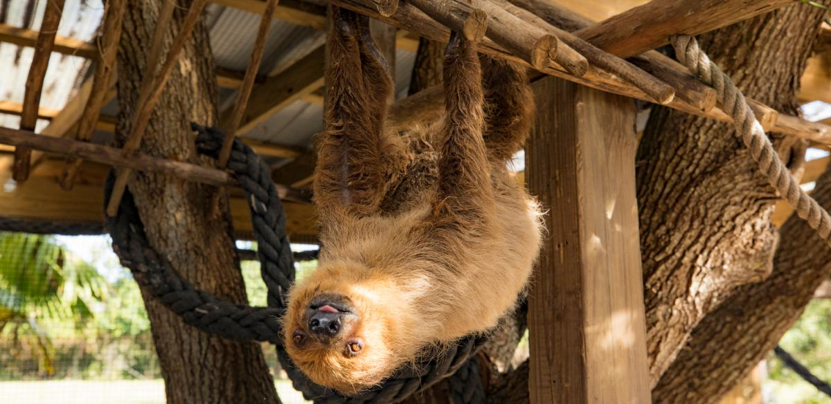 A sloth hanging upside down